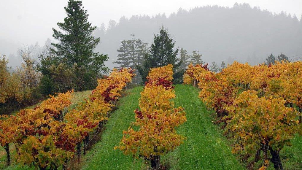 Grape vine in fall