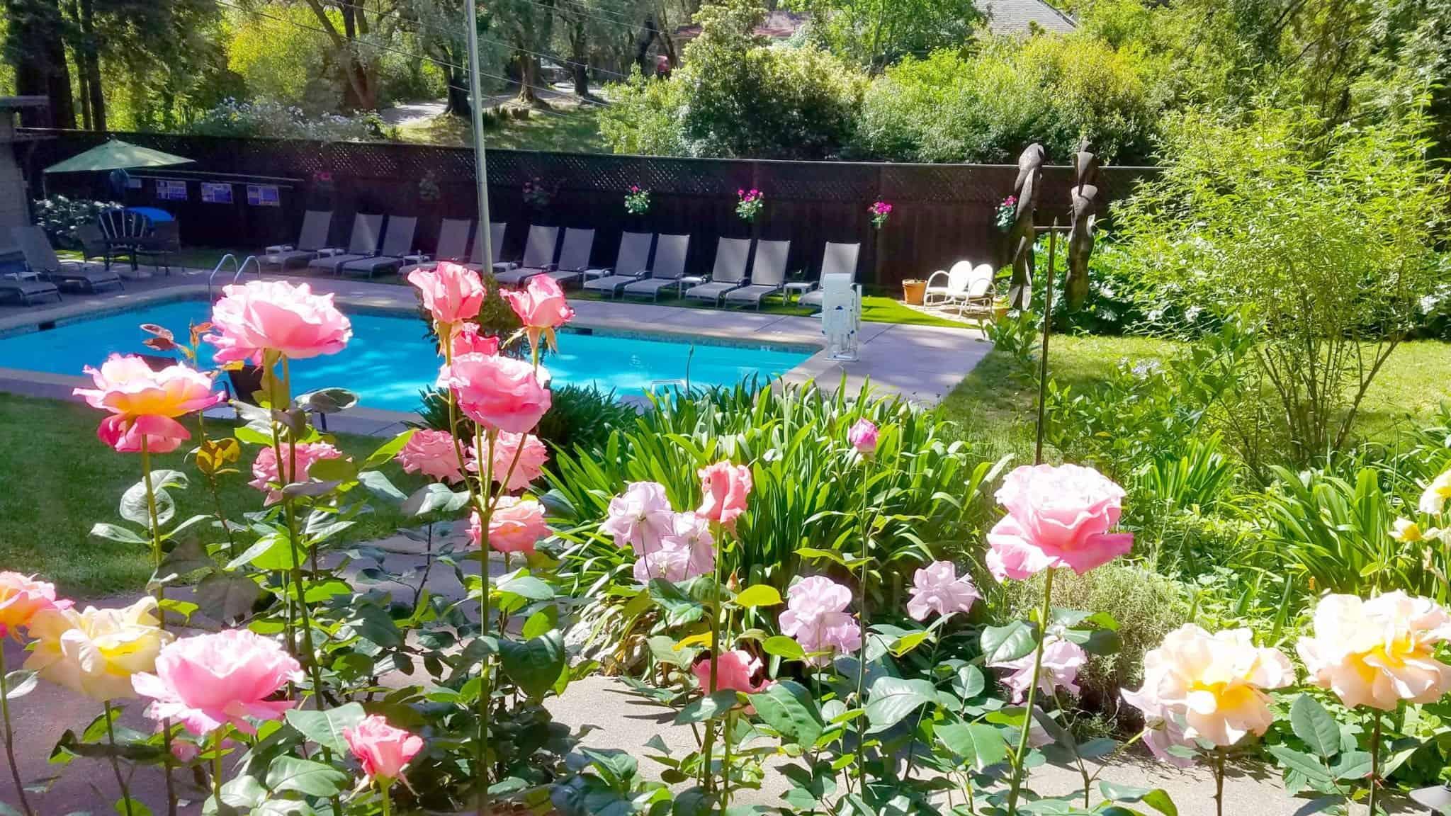 Sunny roses at pool